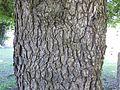 Bark of Ulmus minor 'Procera'.jpg
