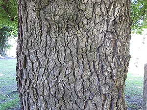 Ulmus minor 'Atinia' - Image: Bark of Ulmus minor 'Procera'
