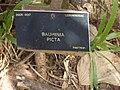 Bauhinia Picta - Plaque.jpg