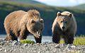 Bears Alaska (3).jpg