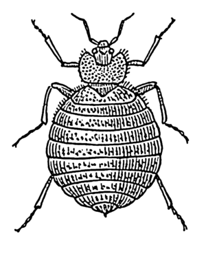 Line art drawing of a bedbug.