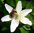 Bee on Wood Anemone - Flickr - gailhampshire.jpg