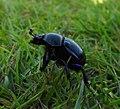 Beetle (20874236242).jpg
