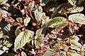 Begonia Venezuelan Species 5zz.jpg