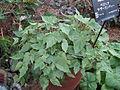 Begonia sutherlandii1.jpg