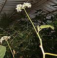 Begonia valida BotGardBln27120A.jpg