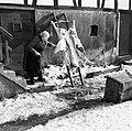Bejaarde vrouw bij aan een ladder opgespannen geslacht varken, Bestanddeelnr 254-3468.jpg