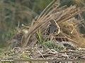 Bengal Bushlark (Mirafra assamica) (34338424160).jpg