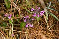 Bergmynta (Clinopodium vulgare)-0772 - Flickr - Ragnhild & Neil Crawford.jpg