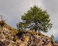 Bergtocht van Peio Paese naar Lago Covel in het Nationaal park Stelvio (Italië). Europese lariks (Larix decidua) op een rotswand 02.jpg
