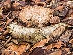 Berkenzwam (Piptoporus betulinus) op afgebroken berkentak in een natuurlijk biotoop 02.jpg