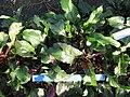Beta vulgaris var conditiva Буряк столовий сорт Воєвода з розеткою листків.jpg