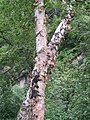 Betula utilis - Bhoj Patra Tree on way from Gangria to Hemkund at Valley of Flowers National Park - during LGFC - VOF 2019 (3).jpg