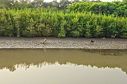 Bhitarkanika Mangroves Flora and Fauna 04.JPG