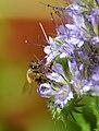 Biene auf Phacelia.jpg