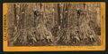 Big Tree - Wm. Cullen Bryant, near view. Calaveras Group, by Lawrence & Houseworth 2.png