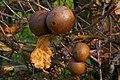 Biorrhiza pallida - geograph.org.uk - 391057.jpg