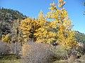 Birch Trees in Fall, Wallowa-Whitman National Forest (26195911724).jpg