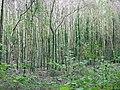 Birch woodland - geograph.org.uk - 77220.jpg