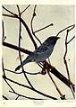 Birds of Buzzard's Roost (Plate XXXIX) (6279456305).jpg