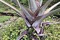 Bismarckia nobilis 20zz.jpg