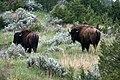 Bison Theodore National Park, Sagebrush.jpg