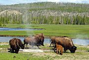 Bison graze near a hot spring