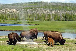 Bison graze near a hot spring in Yellowstone National Park.