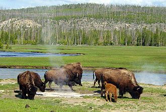 Yellowstone Park bison herd - Bison near a hot spring in Yellowstone