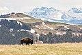 Bison walking on the ridge of Bison Peak (41737959634).jpg