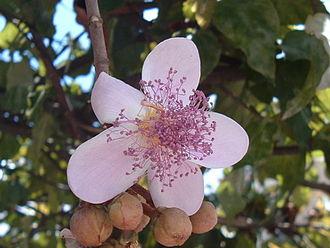 Bixa orellana - Achiote flower.