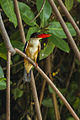 Black-capped Kingfisher - Thailand.jpg
