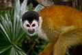 Black-capped Squirrel Monkey (Saimiri boliviensis).jpg