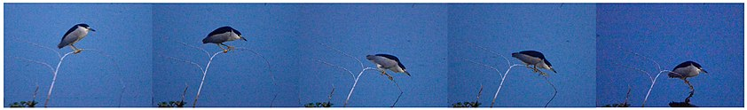 Black-crowned Night-Heron Nycticorax nycticorax collage