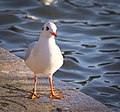 Black-headed gull (38738707004).jpg