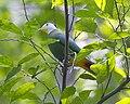 Black-naped Fruit Dove - Lip Kee.jpg
