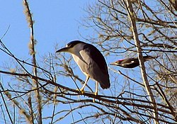Black Crowned Night Heron - Pileated Woodpecker.jpg