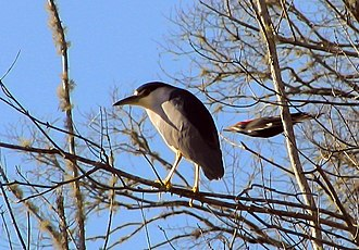 Serendipity - The photo was intended to be of a black-crowned night heron; the photographer was initially unaware of the pileated woodpecker flashing through.