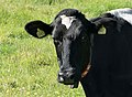 Black and white cow at Brodalen.jpg