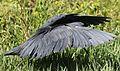 Black heron, Egretta ardesiaca, at Marievale Nature Reserve, Gauteng, South Africa (30415940656).jpg