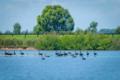 Black swans on lagoon at Sydney Polo Club.webp