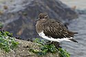 Black turnstone, Arenaria melanocephala, in non-breeding (winter) plumage at Moss Landing, California, USA. (30961303625).jpg