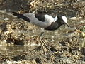 Blacksmith lapwing in Tanzania 3341 cropped Nevit.jpg