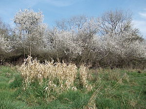 Ickenham Marsh - Blackthorn on Ickenham Marsh