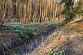 Bledule jarní v PR Králova zahrada 52.jpg