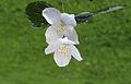 Bloemen van Jasmijn (Jasminum) 01.JPG