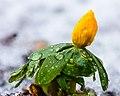 Bloemknop van een winterakoniet (Eranthis hyemalis) in smeltende sneeuw 16-02-2021. (d.j.b). 02.jpg