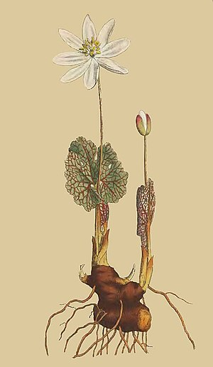 Sanguinaria - Canada puccoon by Sydenham Edwards from The Botanical Magazine (1791)