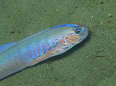 Blue-barred Ribbon Goby Oxymetopon cyanoctenosum.jpg