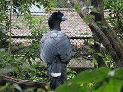 Blue-billed Curassow RWD.jpg